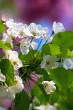 Flores de cerejeira Foto de Stock