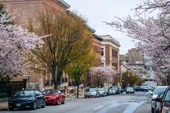 Flores de cerejeira ao longo de Madison Street em Mount Vernon, Baltimore, Maryland foto de stock