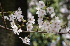 Flores de cerejeira brancas bonitas Fotos de Stock Royalty Free