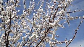 Flores de cerejeira brancas de florescência contra o céu azul filme