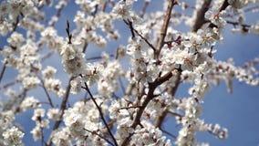 Flores de cerejeira brancas de floresc?ncia contra o c?u azul vídeos de arquivo