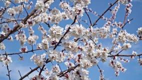 Flores de cerejeira brancas de floresc?ncia contra o c?u azul filme
