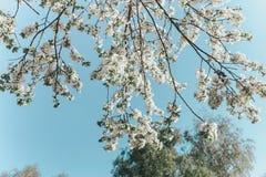 Flores de cerejeira brancas no sol da mola com c?u azul foto de stock royalty free