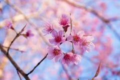 Flores de cerejeira com cor agradável do fundo para adv ou outro uso da finalidade Imagens de Stock Royalty Free