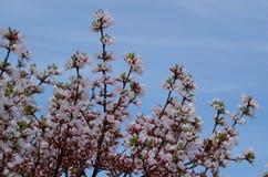 Flores de cerejeira com fundo do céu azul Fotografia de Stock Royalty Free