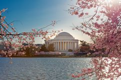 Flores de cerejeira com Jefferson Memorial no fundo na bacia maré no Washington DC fotos de stock royalty free