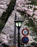Flores de cerejeira com sinais do poste de luz e de tráfego Foto de Stock Royalty Free