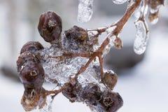 Flores de cerejeira congeladas Fotos de Stock Royalty Free