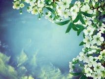 Flores de cerejeira contra o céu matizado Backgro de florescência da mola fotos de stock