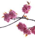 Flores de cerejeira cor-de-rosa Foto de Stock