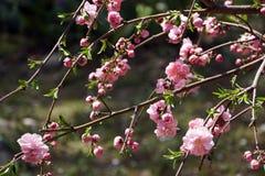 Flores de cerejeira cor-de-rosa bonitas Imagem de Stock