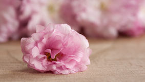 Flores de cerejeira cor-de-rosa de Kwanzan em uma tabela de madeira Imagens de Stock