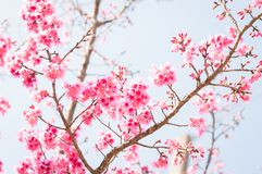 Flores de cerejeira cor-de-rosa bonitas no jardim imagens de stock