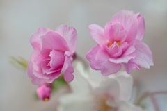 Flores de cerejeira cor-de-rosa macro fotografia de stock royalty free