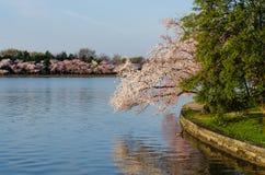Flores de cerejeira da C.C. Imagens de Stock Royalty Free