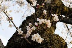 Flores de cerejeira da C.C. Imagens de Stock