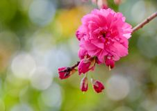 Flores de cerejeira da flor completa em Taiwan Fotos de Stock