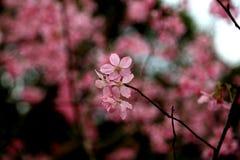 Flores de cerejeira da flor completa em Taiwan Fotografia de Stock Royalty Free