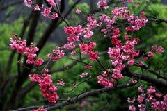 Flores de cerejeira da flor completa em Taiwan Imagem de Stock