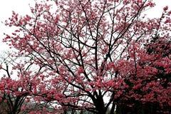 Flores de cerejeira da flor completa em Taiwan Foto de Stock