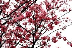 Flores de cerejeira da flor completa em Taiwan Fotografia de Stock