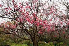 Flores de cerejeira da flor completa em Taiwan Imagens de Stock Royalty Free