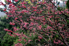 Flores de cerejeira da flor completa em Taiwan Foto de Stock Royalty Free