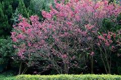 Flores de cerejeira da flor completa em Taiwan Imagens de Stock