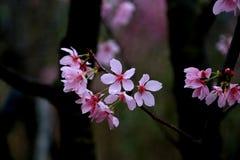 Flores de cerejeira da flor completa em Taiwan Fotos de Stock Royalty Free