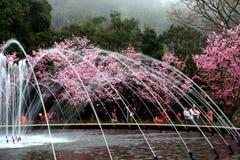 Flores de cerejeira da flor completa em Taiwan Imagem de Stock Royalty Free