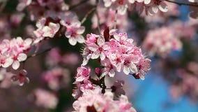 Flores de cerejeira da mola, flores cor-de-rosa vídeos de arquivo