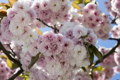 Flores de cerejeira dobro, mola Flores de Sakura das flores imagens de stock royalty free
