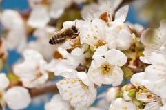 Flores de cerejeira e abelha foto de stock royalty free