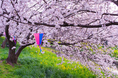 Flores de cerejeira e colza Fotos de Stock Royalty Free