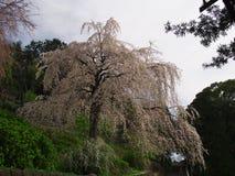 Flores de cerejeira em Chokoji (templo), cidade de Odawara Fotos de Stock Royalty Free
