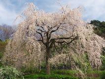 Flores de cerejeira em Chokoji (templo), cidade de Odawara Fotografia de Stock Royalty Free