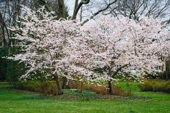 Flores de cerejeira em Sherwood Gardens Park, em Baltimore, Maryland imagem de stock