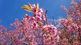 Flores de cerejeira em Tailândia Foto de Stock