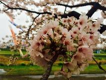 Flores de cerejeira em Tarui Fotografia de Stock Royalty Free