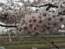 Flores de cerejeira em Tarui Imagem de Stock Royalty Free