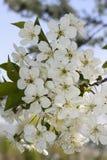 Flores de cerejeira em um fundo do céu Fotografia de Stock