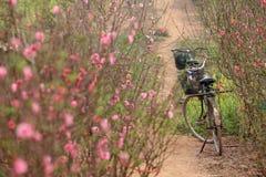Flores de cerejeira em um jardim Imagens de Stock