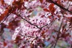 Flores de cerejeira entre flores da mola Imagem de Stock Royalty Free