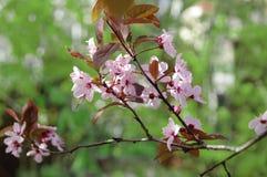 Flores de cerejeira entre flores da mola Imagem de Stock