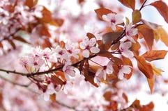 Flores de cerejeira entre flores da mola Foto de Stock