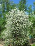 Flores de cerejeira entre vidoeiros Imagem de Stock Royalty Free