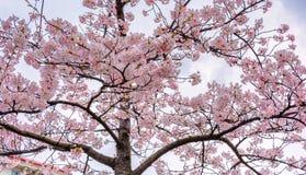 Flores de cerejeira de florescência em um quadrado em Gothenburg, Suécia fotos de stock royalty free