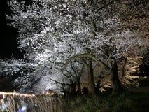 Flores de cerejeira iluminadas Imagem de Stock
