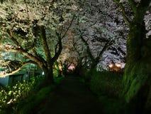 Flores de cerejeira iluminadas na noite Imagem de Stock Royalty Free