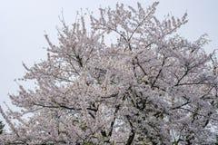 Flores de cerejeira inteiramente florescidas no distrito do samurai de Kakunodate, Akita, Tohoku, Japão na mola Foto de Stock
